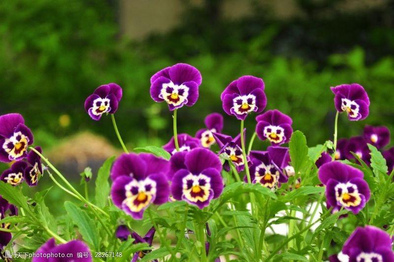 72dpi紫色花开放摄影72DPIJPG