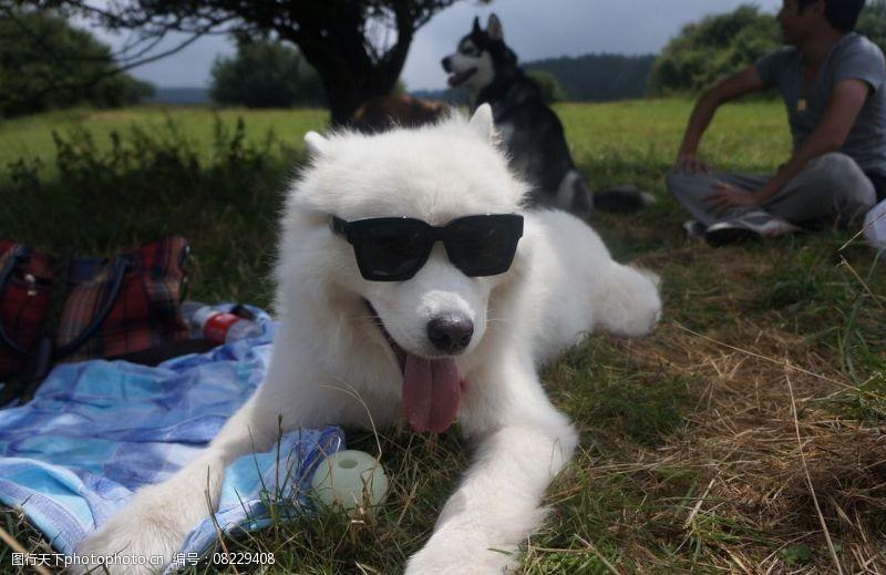 带墨镜的狗萨摩耶图片
