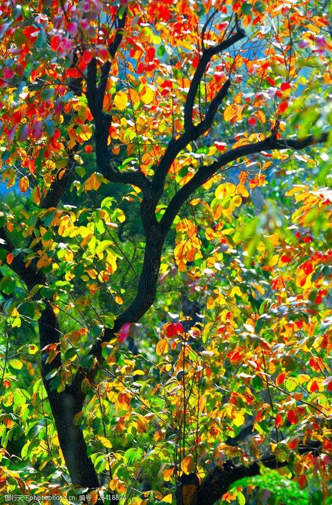 多彩的树木秋天的柿子树图片